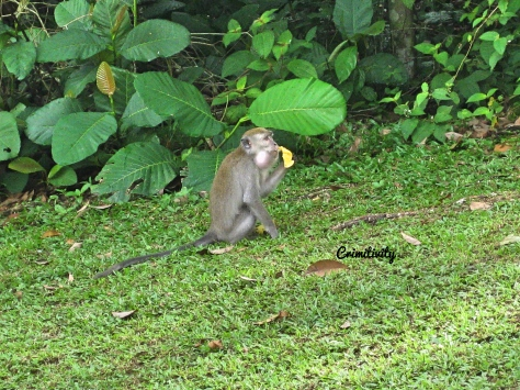 Crimitivity Malaysia monkey