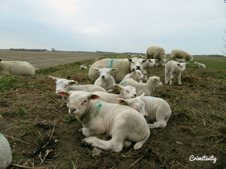 Texel schaapjes 1