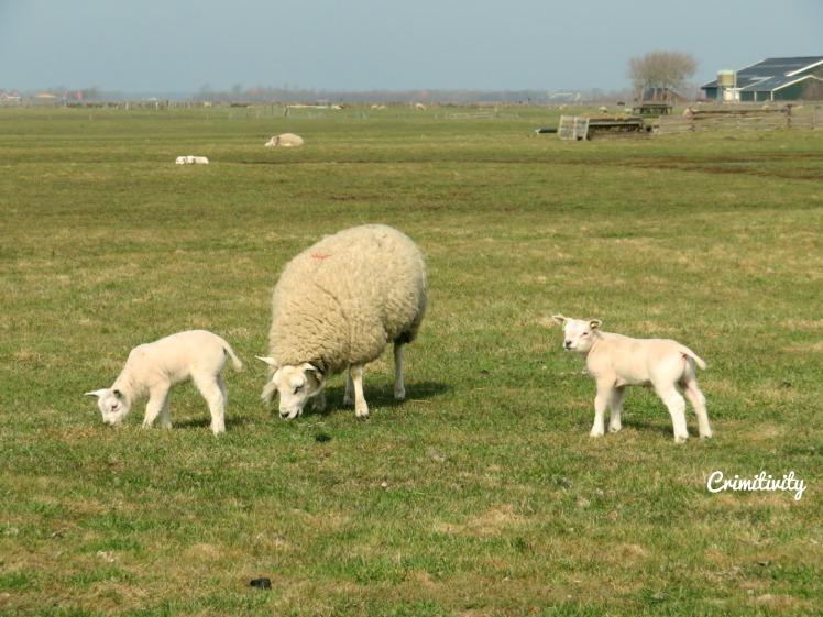 Texel schaapjes 2