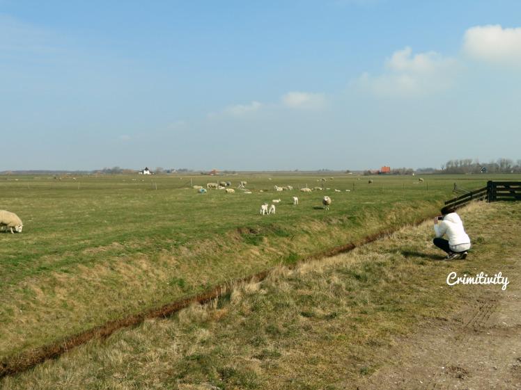 Texel schaapjes 3